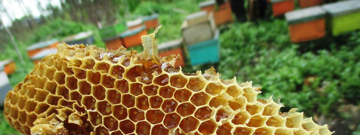 Proses Panen Peternakan Lebah Madu Asli - Madu Murni Langsung Panen